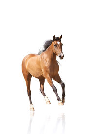 pic of wild horse running  - purebred horse isolated on a white background - JPG