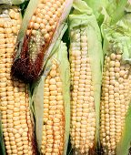 Background Of Fresh Yellow Corn Cobs