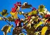 Arrowwood Berries