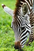 Zebra close up in Africa
