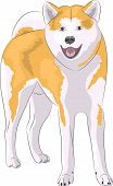 picture of akita-inu  - Red dog breed Akita Inu Japanese Isolated on white background - JPG