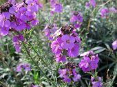 The Flower Erysimum