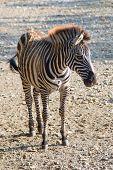 Zebra cub