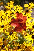image of canada maple leaf  - Maple Leaf Autumn against yellow flowers Canada - JPG