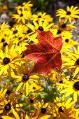 stock photo of canada maple leaf  - Maple Leaf Autumn against yellow flowers Canada - JPG