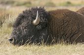 Close Up Of A Bison On The Plains