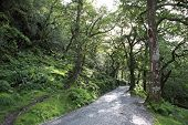 Footpath in a relict forest