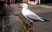 Closeup Of Thirsty Seagull Drinking From Man-made Water Fountain In Middle Of Crowds