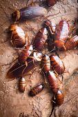 stock photo of cockroach  - Lot Of Cockroach Hanging On Stone Wall - JPG