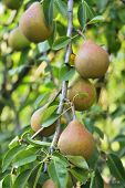 Peas On Tree