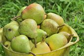 Pail With Pears