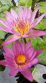 Twin Lotus Flowers