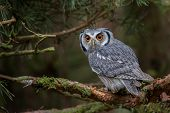 pic of owl eyes  - the large orange eyes of this owl staring out - JPG