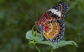 picture of malay  - Isolated full image od a malay lacewing butterfly resting on a leaf - JPG