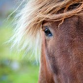 stock photo of iceland farm  - Closeup portrait of Icelandic Pony on a farm in Iceland - JPG