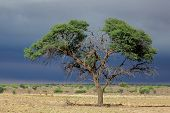 Landscape with a camelthorn Acacia tree (Acacia erioloba), Kalahari desert, South Africa