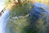 Closeup of rainbow trout in river