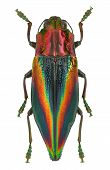 Rainbow Coloured Jewel Beetle Cyphogastra Javanica From Indonesia