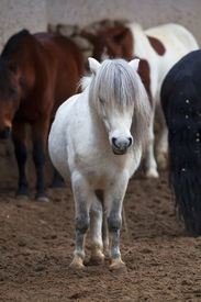 stock photo of hackney  - A full length portrait of a small gray hairy horse - JPG