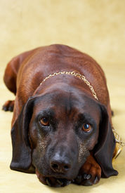 picture of bloodhound  - portrait of dog  - JPG