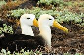 image of albatross  - yellow headed waved albatross native to the galapagos islands - JPG