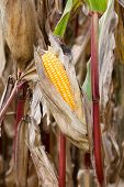 pic of maize  - Ripe Maize corn cob in the field (manual focus)