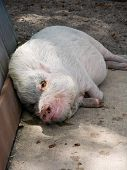 pic of pot bellied pig  - a white pot - JPG