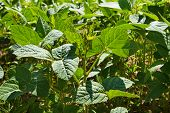 picture of soybeans  - Soybean field sunny summer day - JPG