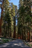 stock photo of sequoia-trees  - Road in the redwood forest in Sequoia National Park - JPG