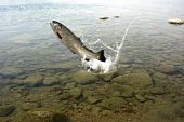 stock photo of lax  - jumping out from water on white background trout - JPG