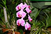 picture of royal botanic gardens  - Orchids at the Royal Botanical Garden - JPG