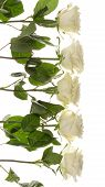 stock photo of single white rose  - five beautiful white delicate fragrant roses on a white background vertical - JPG