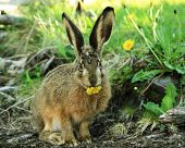 stock photo of hare  - European Hare  - JPG