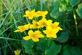 pic of marsh grass  - Marsh Marigold  - JPG