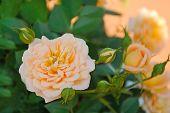 stock photo of orange blossom  - Yellow rose flower on the orange background - JPG