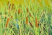 foto of bulrushes  - Bulrush plants in the swamp - JPG