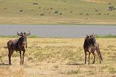 picture of wildebeest  - Two blue wildebeests Connochaetes taurinus standing near a small lake in Ngorongoro Conservation Area Tanzania - JPG