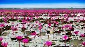 Постер, плакат: Sea Of Red Lotus Marsh Red Lotus Sea Of Red Lotus Thailand