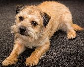 image of border terrier  - A photograph of a Border Terrier dog  - JPG