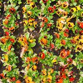 stock photo of viola  - viola tricolor pansy - JPG