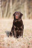 image of chocolate lab  - chocolate labrador retriever dog sitting outdoors in spring - JPG