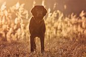 pic of coat  - chocolate flat coated retriever dog outdoors in spring