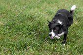 picture of herding dog  - Stock Dog Stalks Left  - JPG