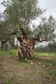 stock photo of sparta  - Image of an olive tree Sparta Peloponnese Greece - JPG