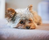 foto of yorkshire terrier  -  a cute yorkshire terrier peeking around while napping on a sofa  - JPG