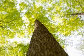 foto of pov  - View from below of a maple tree trunk with branches spreading out - JPG