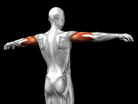 picture of triceps brachii  - Concept or conceptual 3D triceps human anatomy or anatomical and muscle isolated on black background - JPG