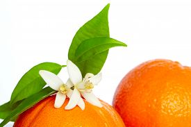 foto of mandarin orange  - Oranges with orange blossom flowers in spring on white background - JPG
