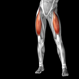 image of human muscle  - Concept or conceptual 3D adductor longus human upper leg anatomy or anatomical and muscle isolated on black background - JPG