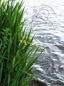 Yellow Irises By Water
